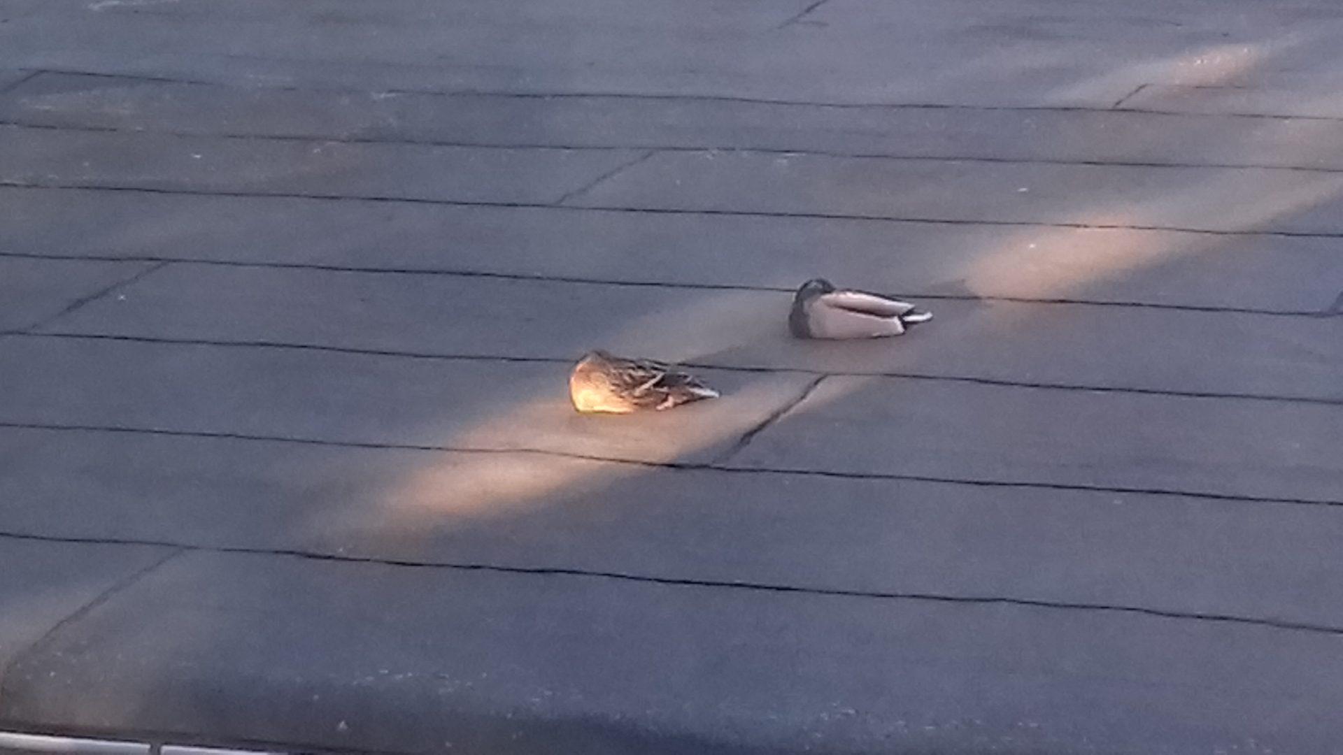 zwei Enten schlummern auf dem Vordach im letzten Zipfel Sonnenlicht