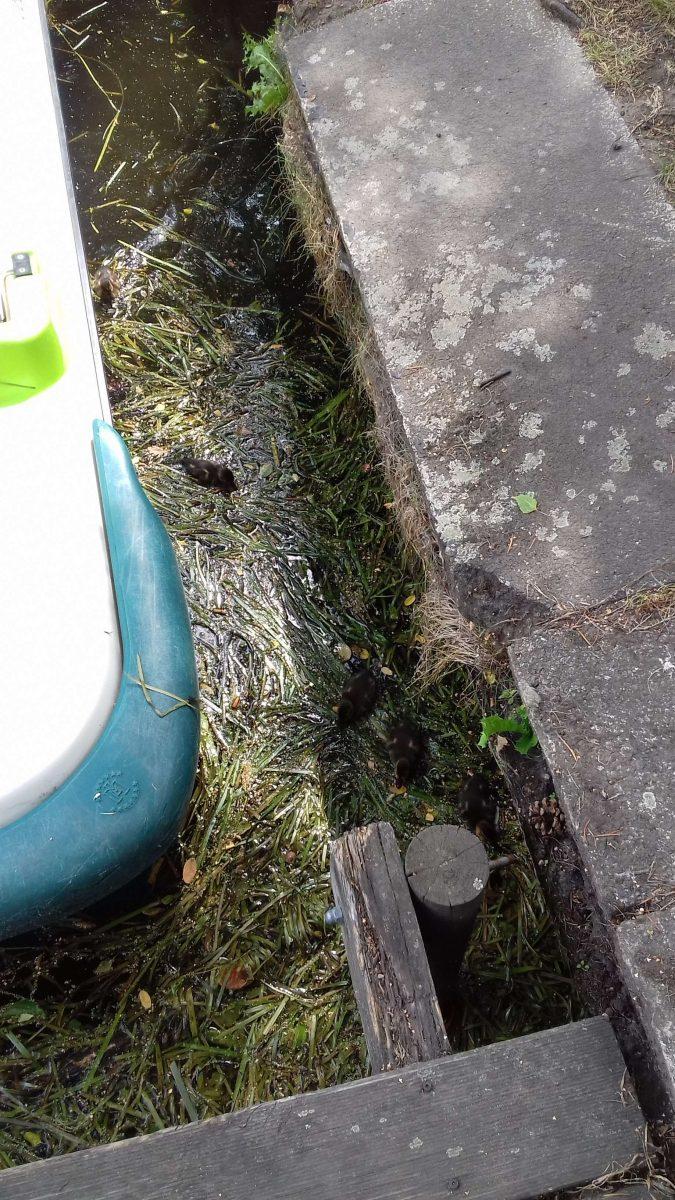 Drei kleine Entenkücken schwammen auf der Oker und mami macht sich Sorgen.